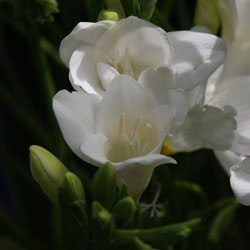 White-Freesia
