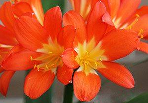 Yellow throated Orange Clivia