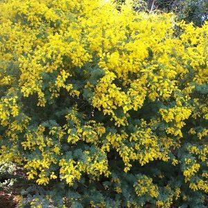 Acacia chinchillensis - The Chinchilla Wattle