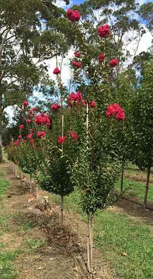 Advanced Crepe Myrtle Tree - Blerwick Tree Farm