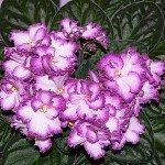 African Violet Societies