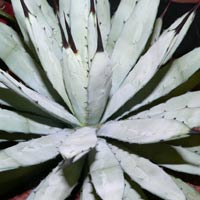 Agave monacanthus
