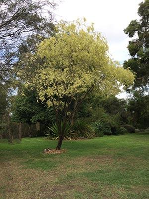 Agonis flexuosa variegata