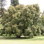 Backhousia Myrtifolia – The Cinnamon Myrtle