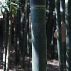 Bamboo growing in Melbourne garden