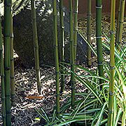 Bamboo for Japanese Graden