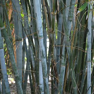 Blue Bamboo Growing In Queensland