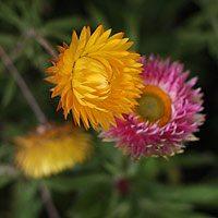 bracteanthas