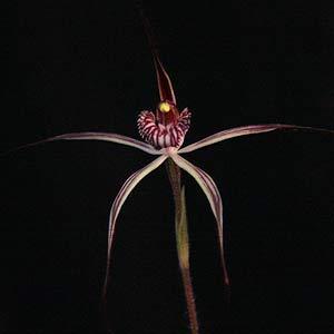 Caladenia polychroma