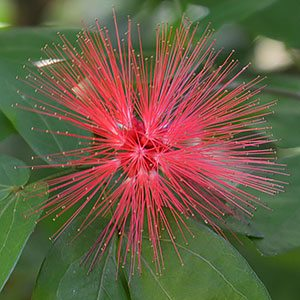 Calliandra haematocephala - Red Powder Puff Flower