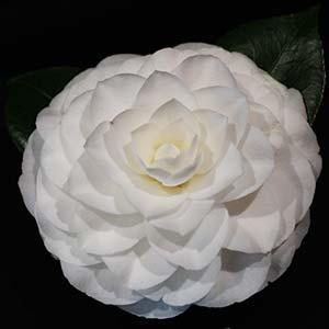 Formal white flowering camellia Nuccio's Gem