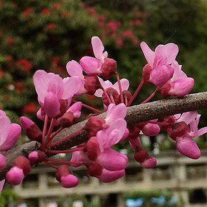 Cercis canadensis 'Covey' (Lavender Twist)