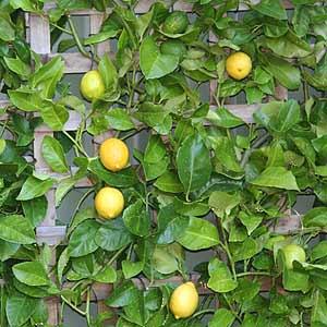 citrus-tree
