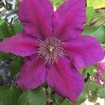 Wholesale Clematis