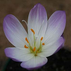 Cochicum speciosum