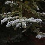 Conifer Garden Trees