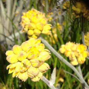 Conostylis candicans silver sunrise flower