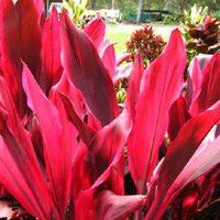 red cordyline foliage