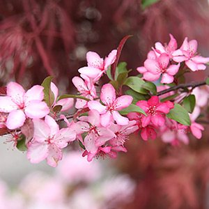 Royal Raindrops - A pink flowering Crab Apple Variety.