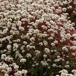 Crassula in flower
