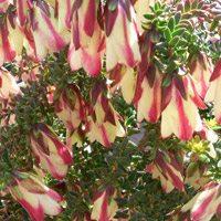 darwinia-macrostegia-stripey-grafted