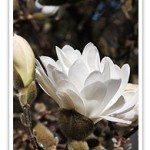 Magnolia Species