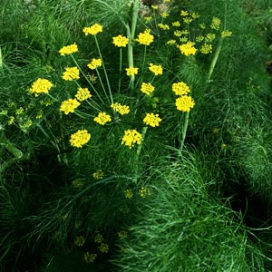 Dill Plant in flower