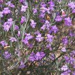 Eremophila drummondii x nivea