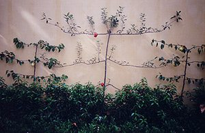 Espaliered fruit trees not only look great but can be productive space savers.