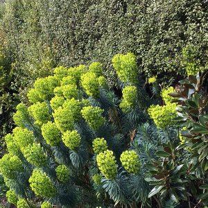 Euphorbia wulfenii in flower