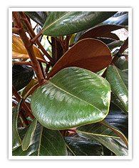 Evergreen Magnolia types