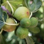 Mature Avocado Tree For Sale Perth