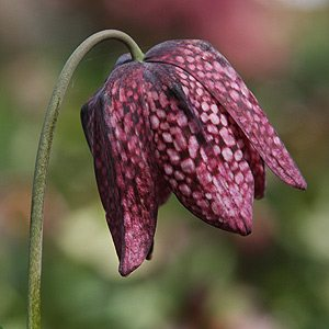 Fritillaria meleagris or Snake's head fritillary