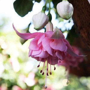 Fuchsia Acclamation - Double Flowering Trailing Variety