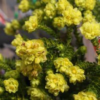Geleznowia verrucosa or 'Yellow Bells'