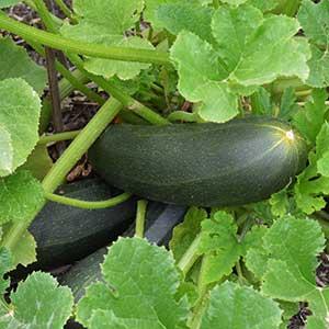 Green skin Zucchini Plant