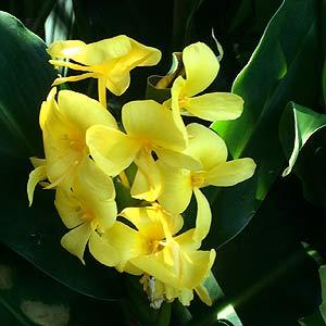 Hedychium coronarium var. urophyllum