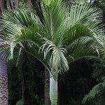 Palm Trees Sydney