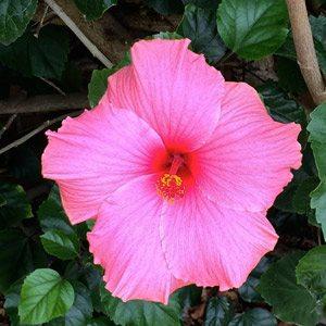 Hibiscus 'agnes galt'