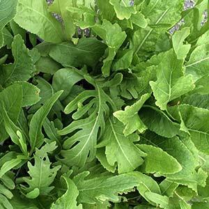 Horseradish Plant