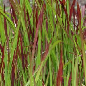 Imperata cylindrica rubra - Japanese Blood Grass