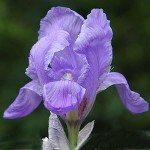 Iris pallida – The Dalmatian Iris