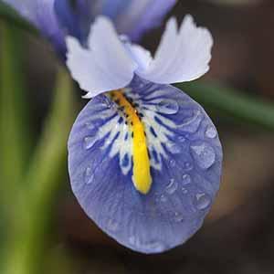 Iris reticulata 'Alida' - Close Up