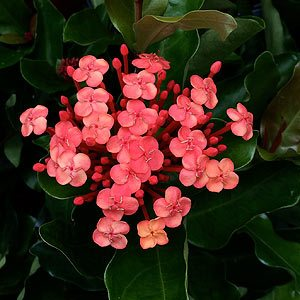 Ixora chinensis ' Prince-of-Orange'