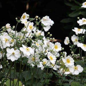 White Japanese Windflowers