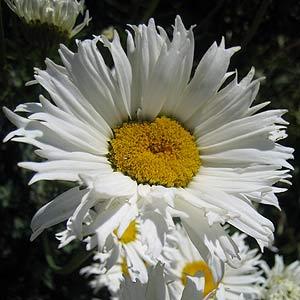 Daisies Flowers And Daisy Varieties Nurseries Online