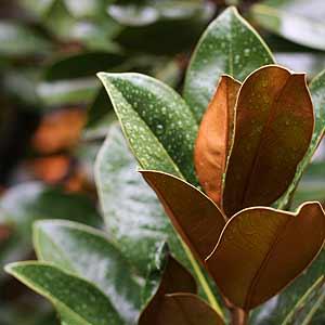 Pruning Magnolia Grandiflora Nurseries Online