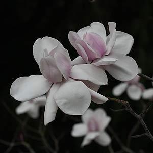Magnolia Tree M. cambellii Charles Raffil