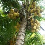 malay-yellow-dwarf-coconut-tree