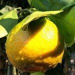 Mandarin satsuma okitsu wase